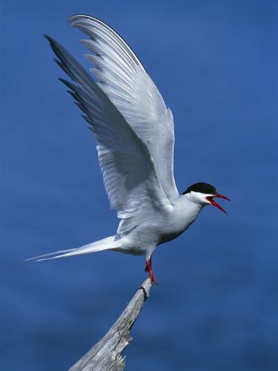 Perching Arctic Tern Spreading Wings in Manitoba-Arthur Morris-Photographic Print