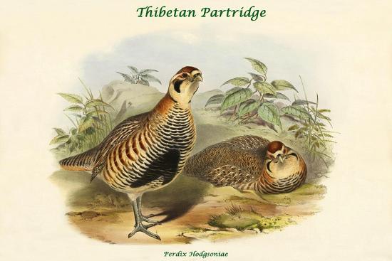 Perdix Hodgsoniae - Thibetan Partridge-John Gould-Art Print