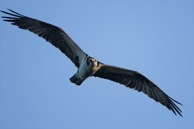Peregrine Falcon, Acadia National Park, Maine-Paul Souders-Photographic Print