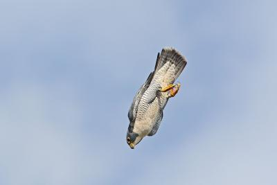 Peregrine Falcon Adult in Flight--Photographic Print