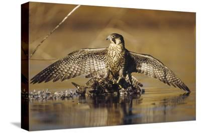 Peregrine Falcon adult in protective stance standing on downed duck, North America-Tim Fitzharris-Stretched Canvas Print