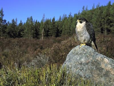 Peregrine Falcon, Adult Male on Rock Showing Moorland Habitat, Scotland-Mark Hamblin-Photographic Print
