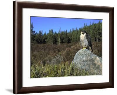 Peregrine Falcon, Adult Male on Rock Showing Moorland Habitat, Scotland-Mark Hamblin-Framed Photographic Print
