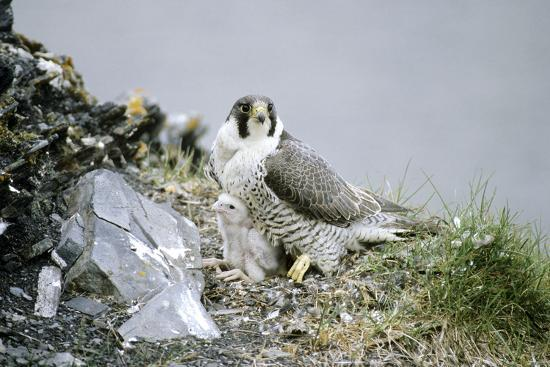 Peregrine Falcon Adult Warms a Chick-Andrey Zvoznikov-Photographic Print
