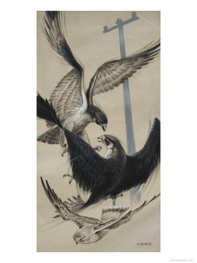 Peregrine Falcon and Kestrel-David Nockels-Giclee Print
