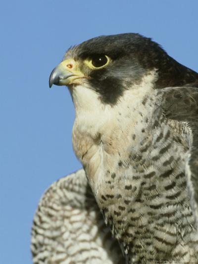 Peregrine Falcon, Close-up Portrait of Adult Male, UK-Mark Hamblin-Photographic Print