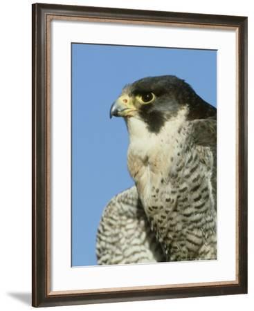 Peregrine Falcon, Close-up Portrait of Adult Male, UK-Mark Hamblin-Framed Photographic Print