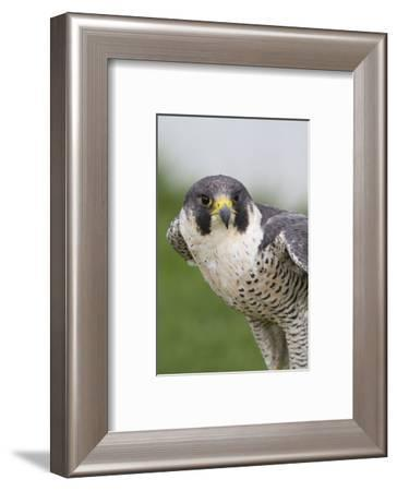 Peregrine Falcon Close-Up-Hal Beral-Framed Photographic Print