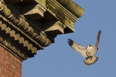 Peregrine Falcon (Falco Peregrinus), Adult Male Landing on Building. Bristol, UK. March-Sam Hobson-Photographic Print