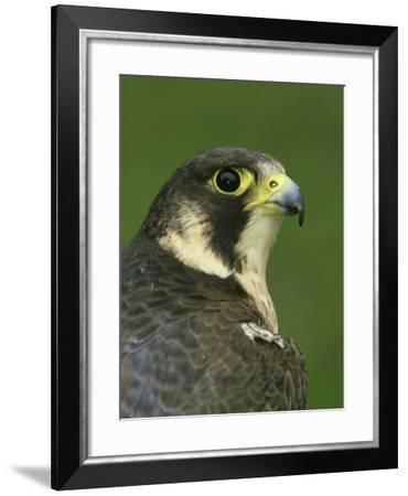 Peregrine Falcon, Falco Peregrinus Close-up Portrait of Female Captive-Mark Hamblin-Framed Photographic Print
