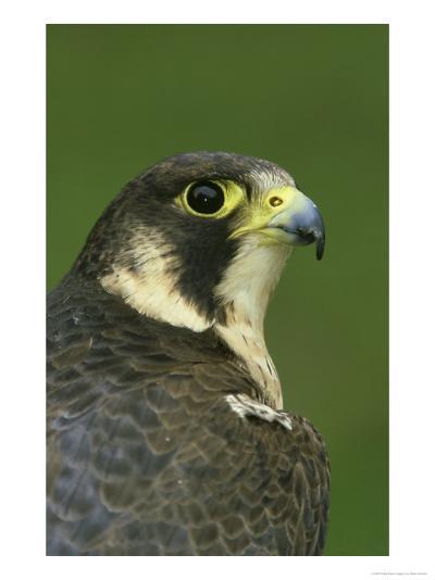 Peregrine Falcon, Falco Peregrinus Close-up Portrait of Female Captive-Mark Hamblin-Photographic Print