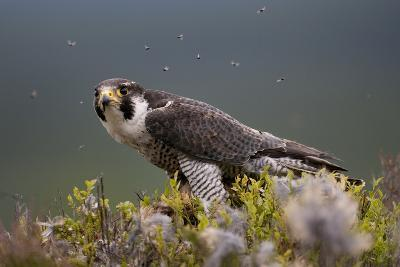 Peregrine Falcon (Falco Peregrinus) Feeding On Wood Pigeon With Flies Buzzing Around-Peter Cairns-Photographic Print