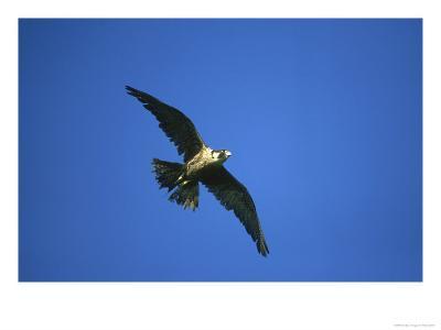Peregrine Falcon, Falco Peregrinus Immature Female in Flight Scotland, UK-Mark Hamblin-Photographic Print