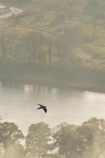 Peregrine Falcon (Falco Peregrinus) in Flight over the River Tay, Perthshire, Scotland, UK-Fergus Gill-Photographic Print