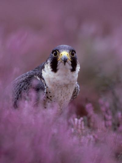 Peregrine Falcon, Falco Peregrinus Male Amongst Heather-Mark Hamblin-Photographic Print