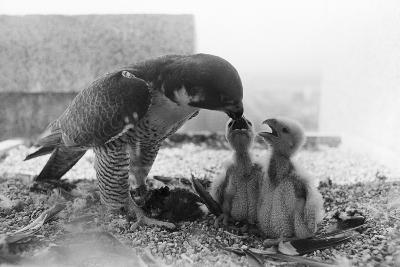 Peregrine Falcon Feeding Her Chicks--Photographic Print