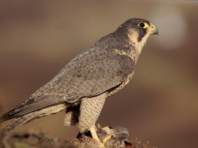 Peregrine Falcon Female (Falco Peregrinus), Subspecies Brookei from Southern Europe-Niall Benvie-Photographic Print