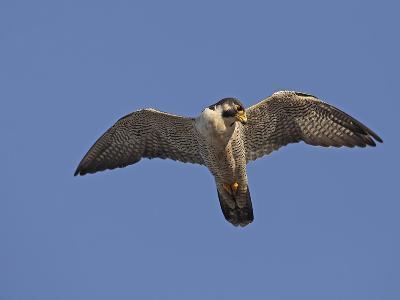 Peregrine Falcon Flying (Falco Peregrinus)-Richard Ettlinger-Photographic Print