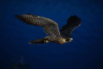 Peregrine Falcon Flying over a Lake-W^ Perry Conway-Photographic Print
