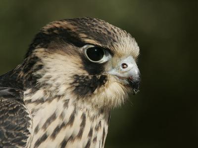 Peregrine Falcon Head Showing its Eye and Bill, Falco Peregrinus, North America-John Cornell-Photographic Print