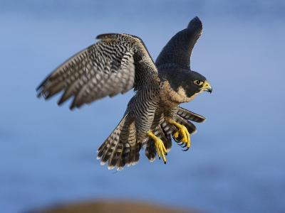 Peregrine Falcon in Flight-W^ Perry Conway-Photographic Print