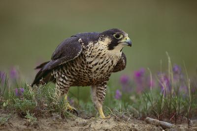 Peregrine Falcon in Grass-DLILLC-Photographic Print