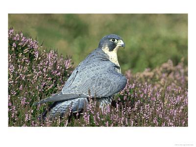 Peregrine Falcon on Heather in Flower, UK-Mark Hamblin-Photographic Print