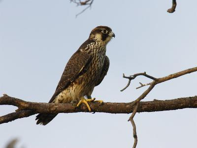 Peregrine Falcon Perches in a Tree, Bombay Hook, Delaware-George Grall-Photographic Print