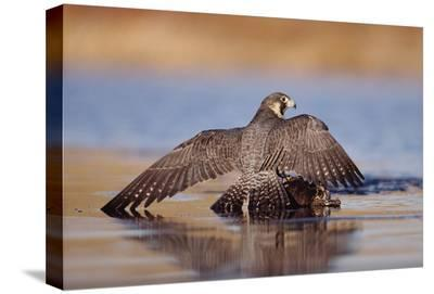 Peregrine Falcon standing over prey, North America-Tim Fitzharris-Stretched Canvas Print