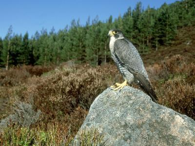 Peregrine Falcon, Strathspey, UK-Mark Hamblin-Photographic Print