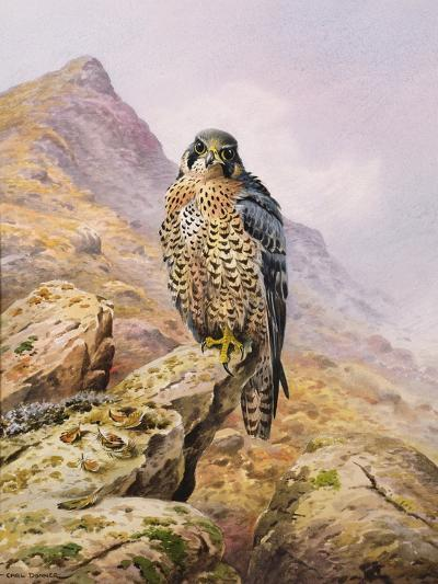 Peregrine Falcon-Carl Donner-Giclee Print