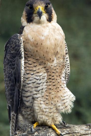 Peregrine Falcon-Bob Gibbons-Photographic Print