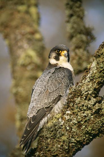 Peregrine Falcon--Photographic Print