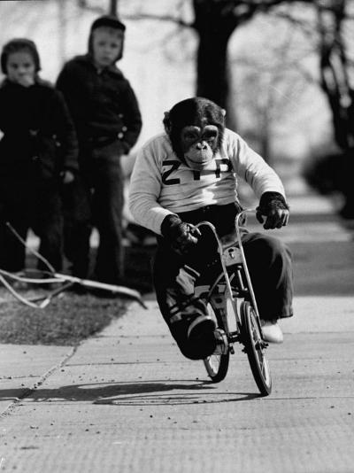 Performing Chimpanzee Zippy Riding a Bike--Photographic Print