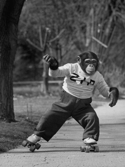 Performing Chimpanzee Zippy Riding on Skates--Photographic Print