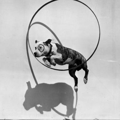 Performing Dog--Photographic Print