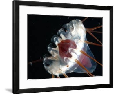 (Periphylla Sp) Jellyfish, Deep Sea Atlantic Ocean-David Shale-Framed Photographic Print