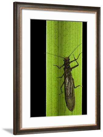 Perla Maxima (Stonefly)-Paul Starosta-Framed Photographic Print