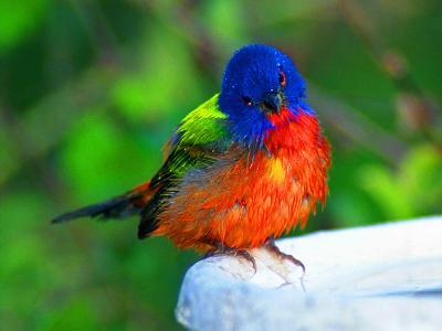 Perplexed Painted Bunting (Male) Bird, Immokalee, Florida, USA-Bernard Friel-Photographic Print
