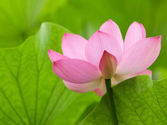 Perry's Water Garden, Lotus Bloom and Leaves, Franklin, North Carolina, USA-Joanne Wells-Photographic Print