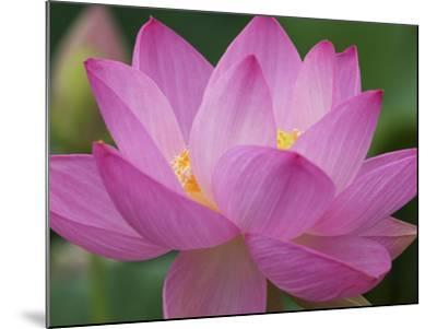 Perry's Water Garden, Lotus Blossom, Franklin, North Carolina, USA-Joanne Wells-Mounted Photo