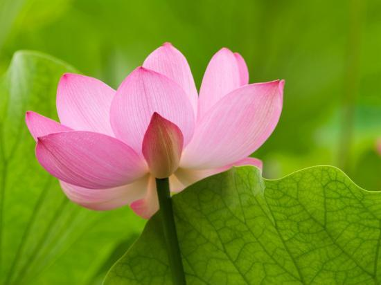 Perry's Water Garden, Lotus Blossom, Franklin, North Carolina, USA-Joanne Wells-Photographic Print