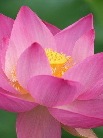 https://imgc.artprintimages.com/img/print/perry-s-water-garden-lotus-blossom-franklin-north-carolina-usa_u-l-p3we470.jpg?p=0