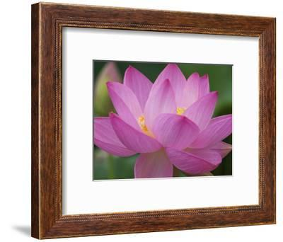 Perry's Water Garden, Lotus Blossom, Franklin, North Carolina, USA-Joanne Wells-Framed Photographic Print