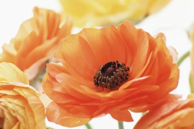 Persian Buttercup (Ranunculus Asiaticus)-Erika Craddock-Photographic Print