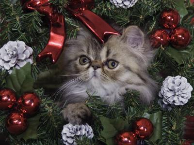 Persian Cat Brown Tabby Kitten Amongst Christmas Decorations, Texas, USA-Rolf Nussbaumer-Photographic Print