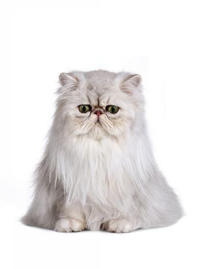 Persian Cat-Fabio Petroni-Photographic Print