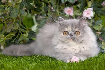 Persian Kitten in Garden Amongst Flowers--Photographic Print