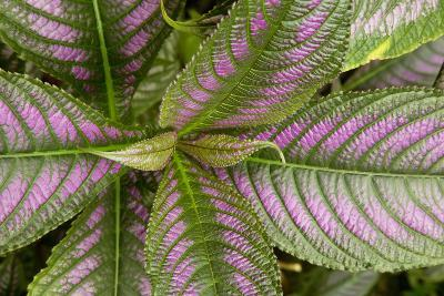 Persian Shield Leaves, Ann Arbor, Michigan '13-Monte Nagler-Photographic Print