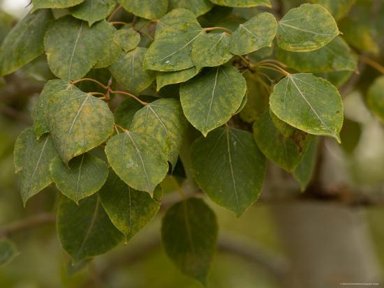 Persimmon Leaves at the Maxwell Arboretum-Joel Sartore-Photographic Print